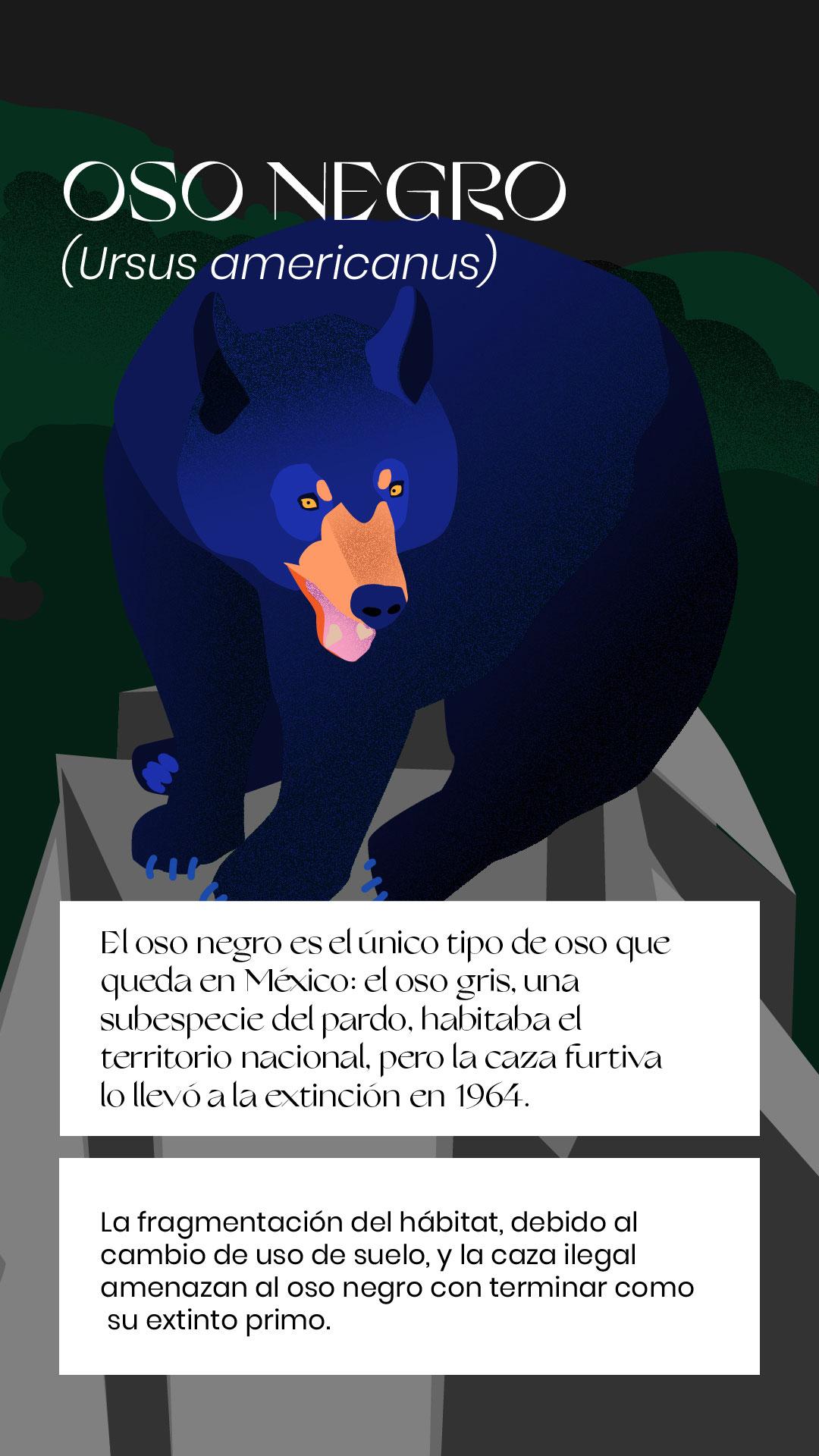 Oso negro extinción