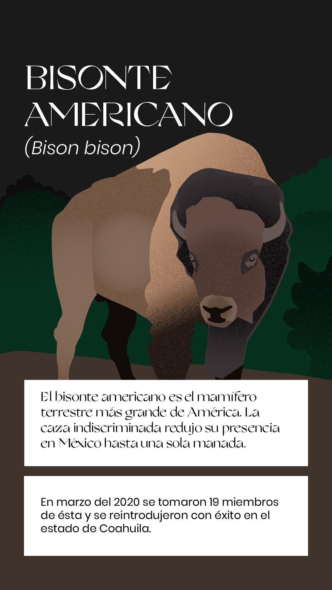 Bisonte americano extinción