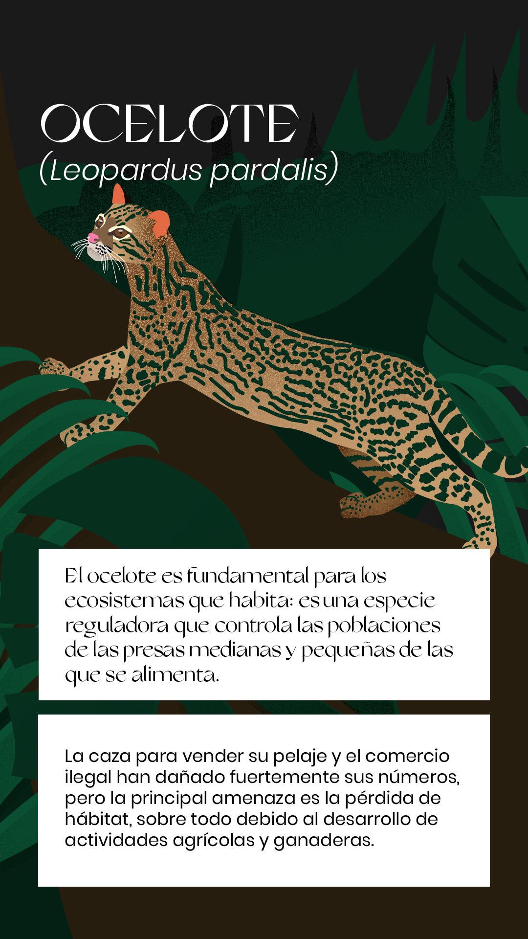 Ocelote extinción